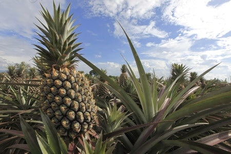 bromelaina z ananasa