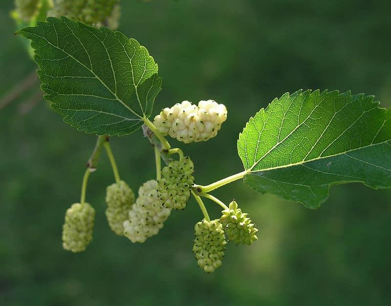 Morwa biała (Morus alba) – ,,roślinny skarb''