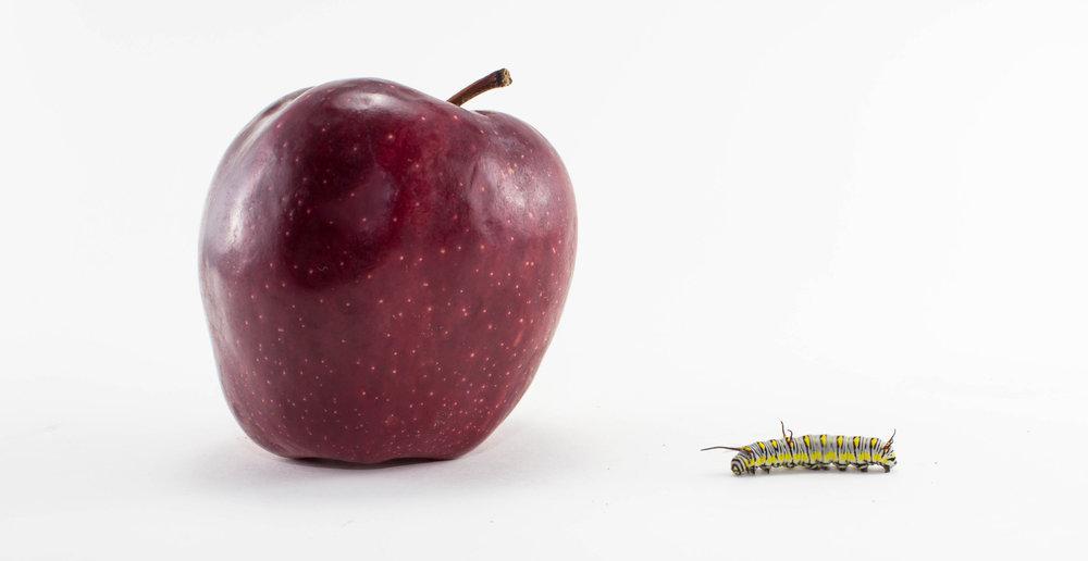 robaczywy owoc