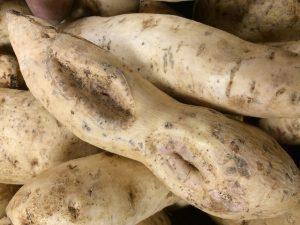 ipomea batatas