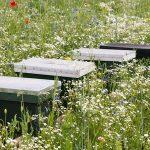 Kiedy kwitną rośliny dające miód towarowy?