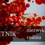 Rokitnik – niezwykła roślina