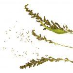 Nie tylko quinoa – poznaj komosę rózgową i komosę piżmową!