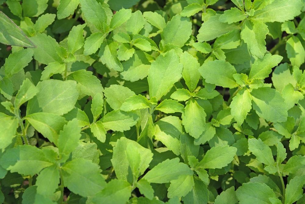 liście stewii