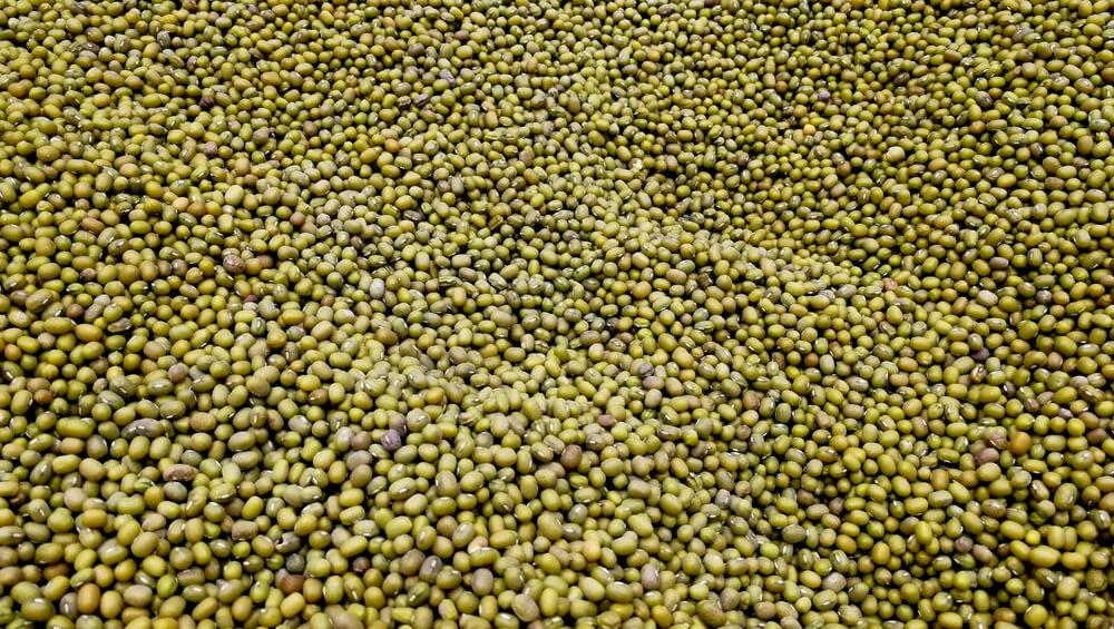 fasola mung nasiona