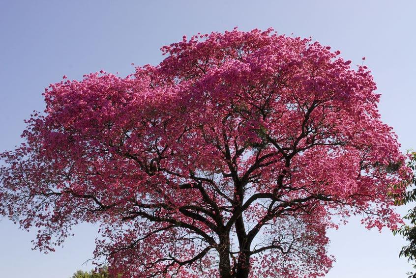 drzewo lapacho