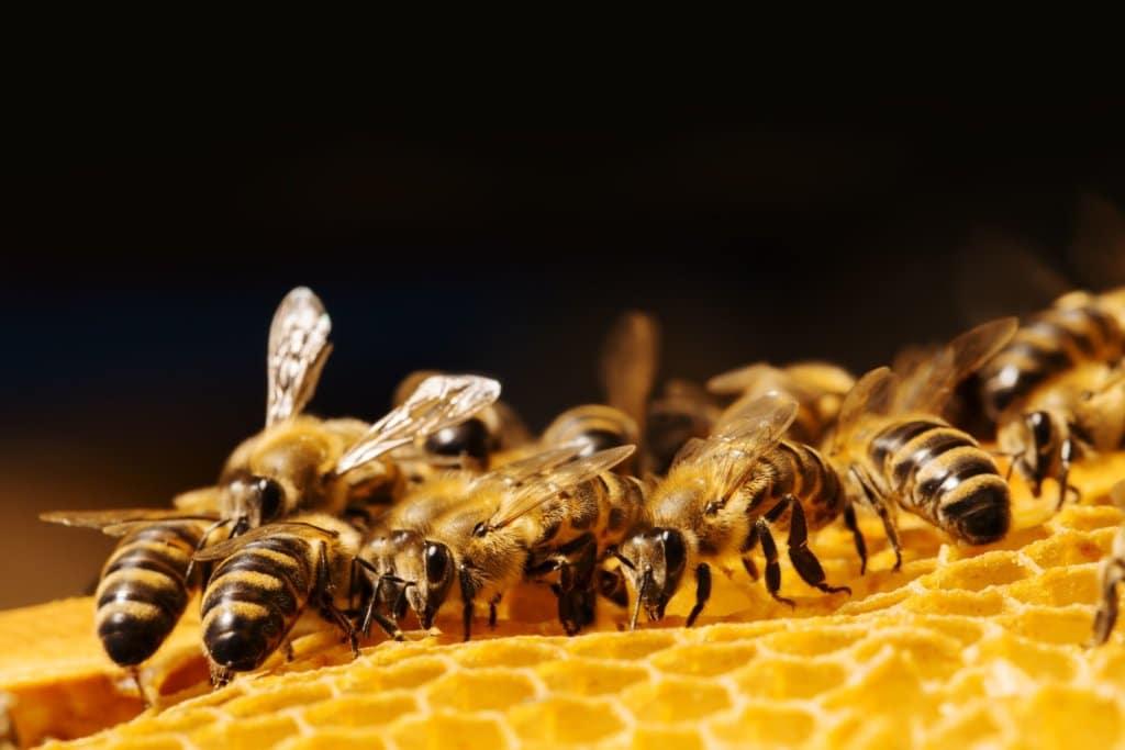 miód pszczoły