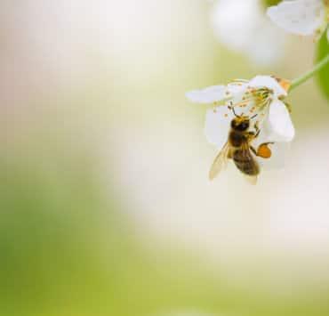 pszczoła pyłek