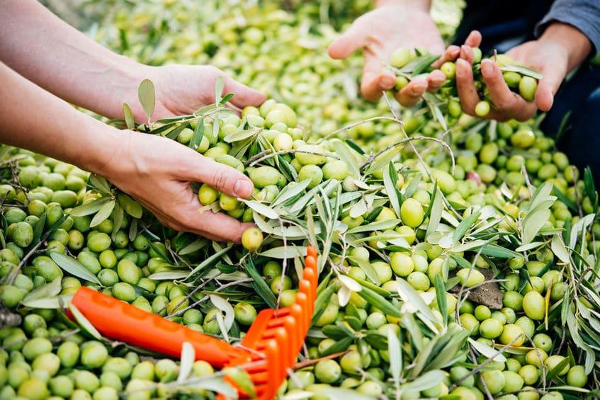 oliwa z oliwek zbiory oliwek