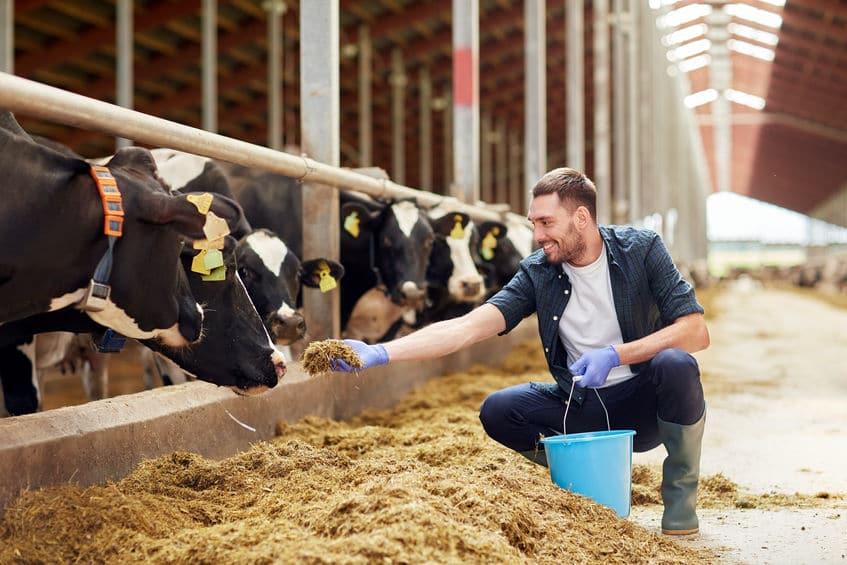 karmienie krów