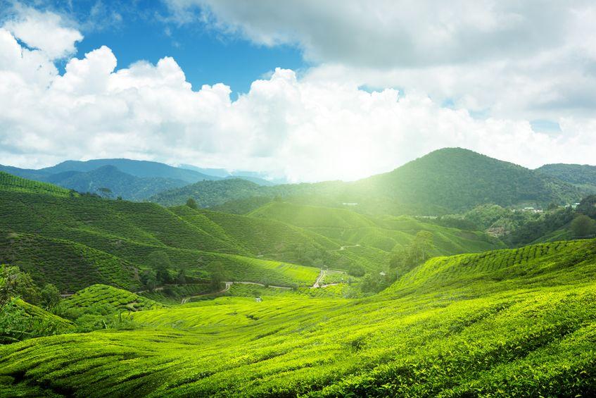 zielona herbata uprawa