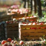 skąd się biorą jabłka