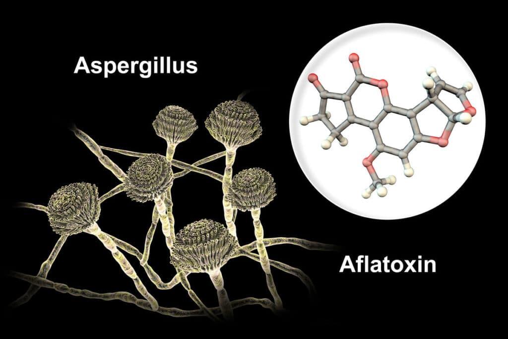 aflatoksyny