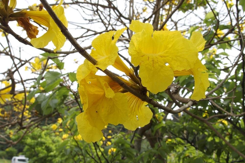 Pau d'Arco kwiaty