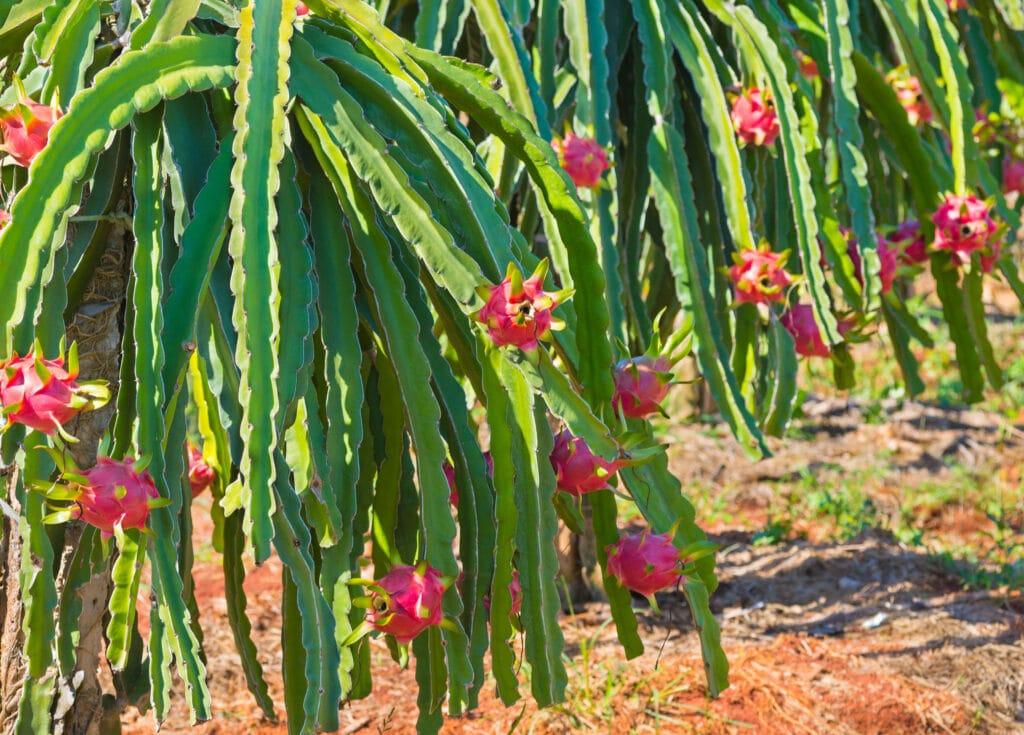 kwiaty dragon fruit
