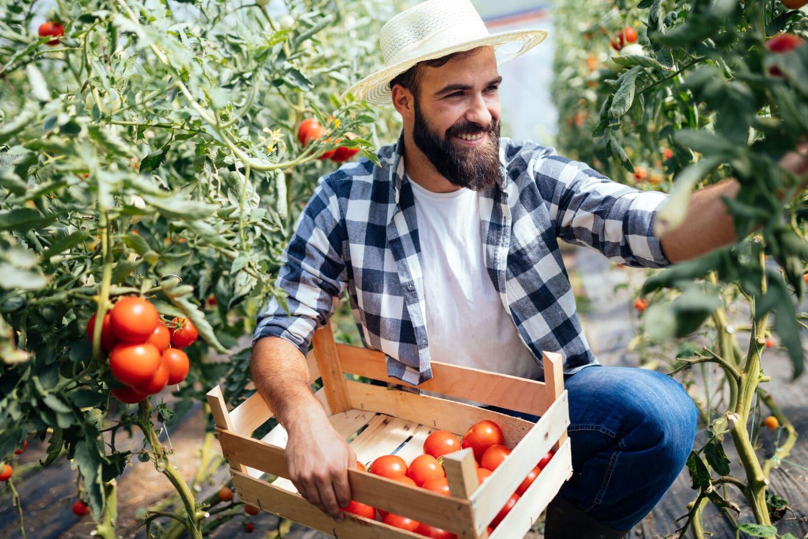 pomidory uprawa
