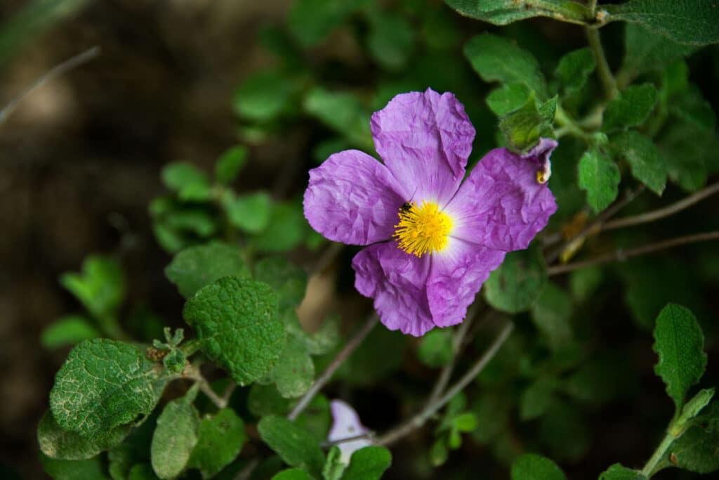 czystek szary kwiat