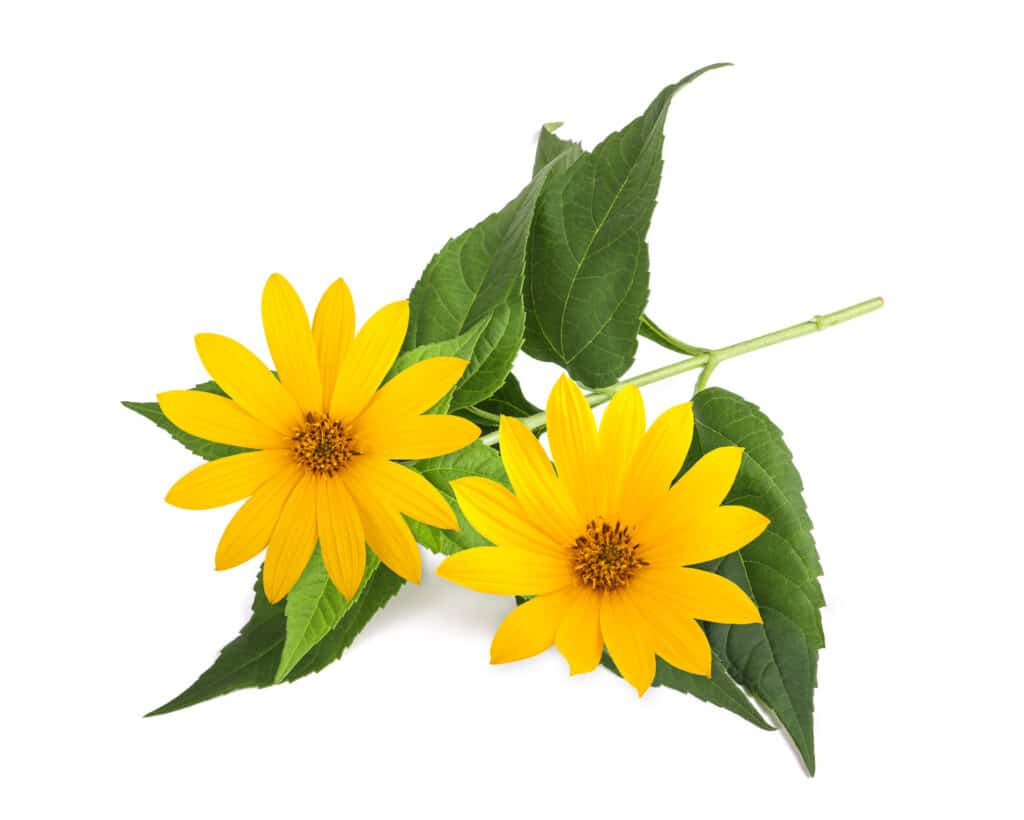 topinambur kwiat