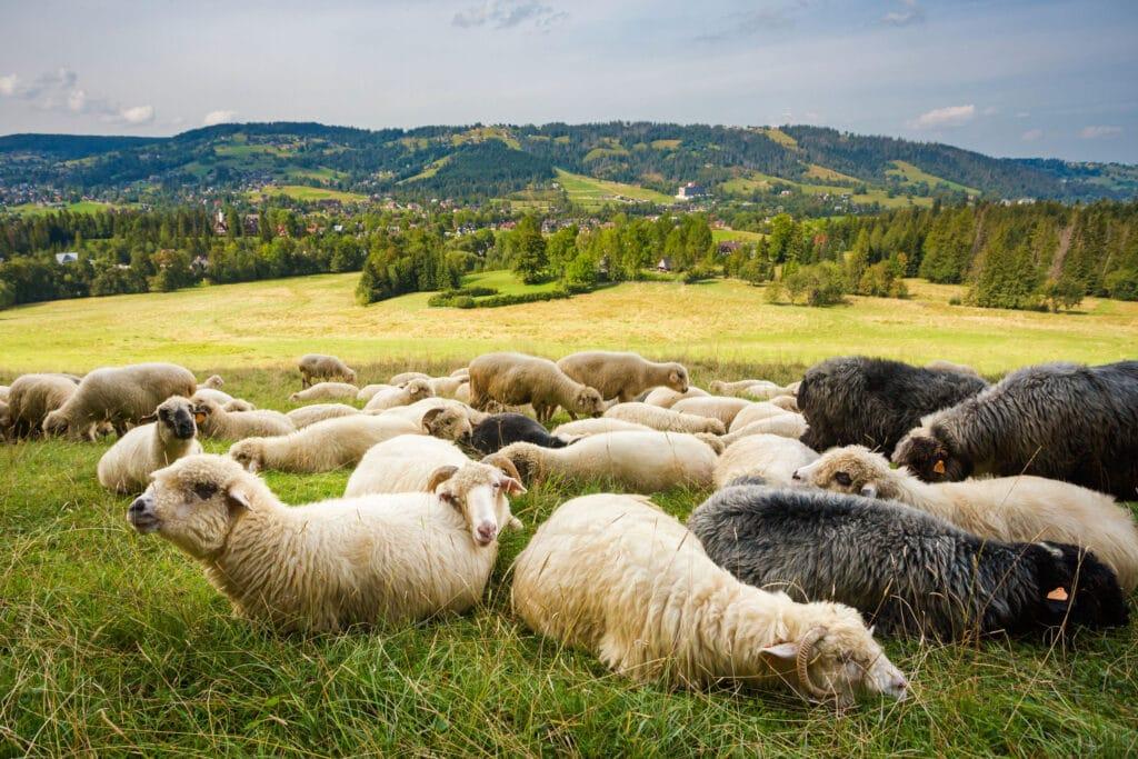 owce bundz owczy