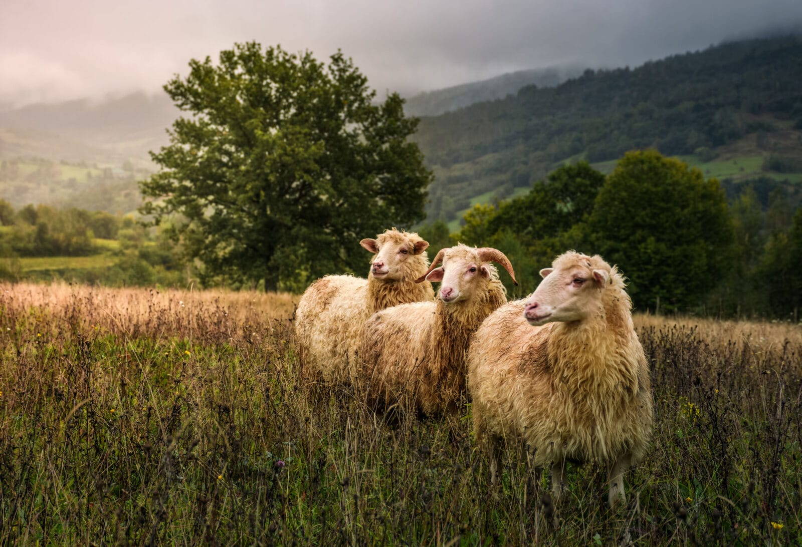 mleko owcze owce