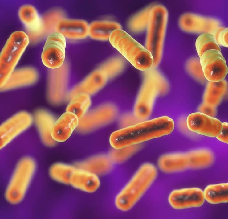 mikrobiota bacteroides