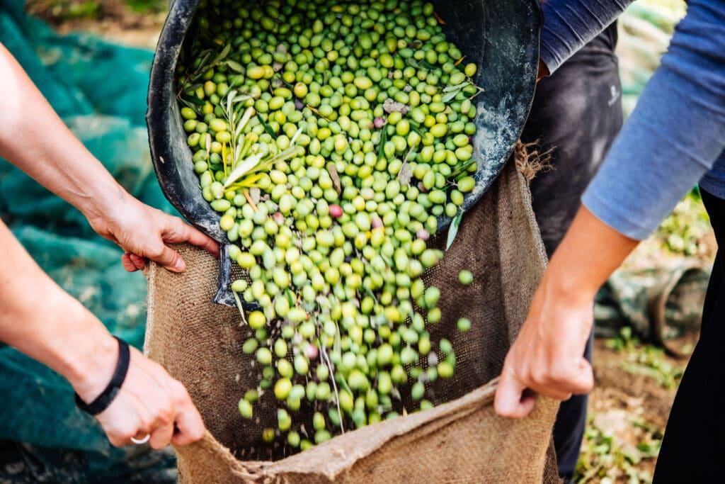 produkcja oliwy z oliwek