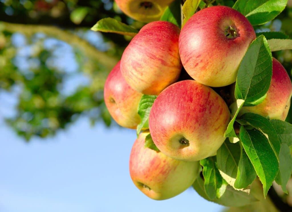 pektyny źródła jabłka
