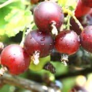 owoce hybrydowe