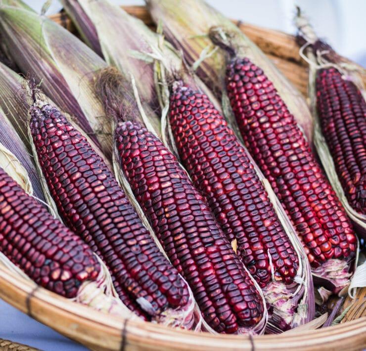 fioletowa kukurydza