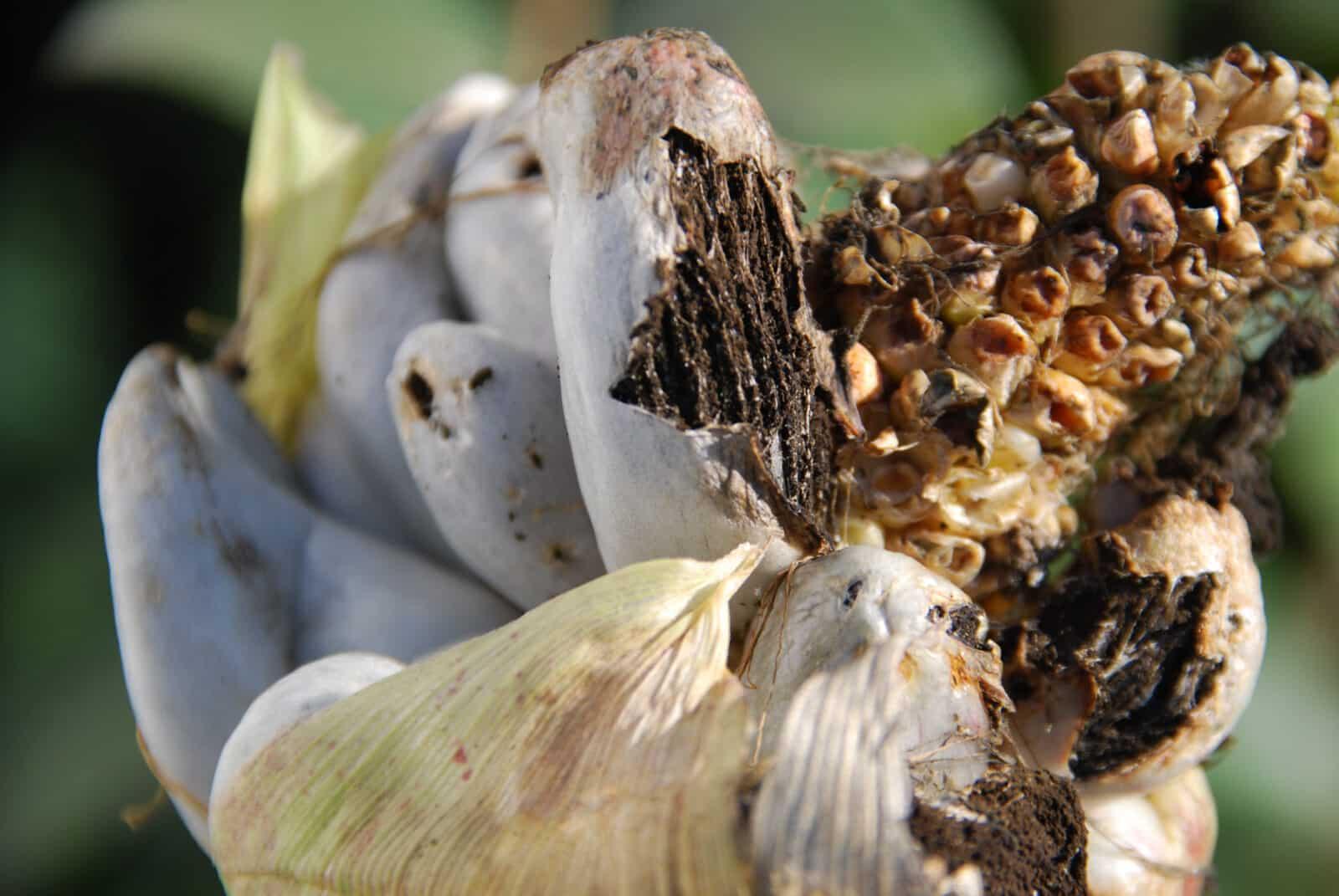 głownia kukurydzy